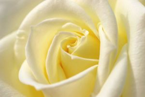 White-Rose-HD-Wallpapers